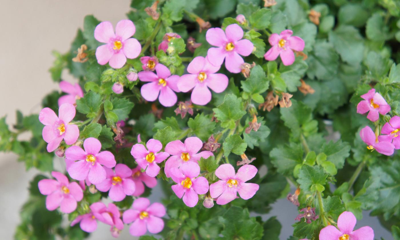 Six Garden-Ready Bacopa Plants in Mixed Colours