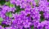 Campanule 'Intens Purple'