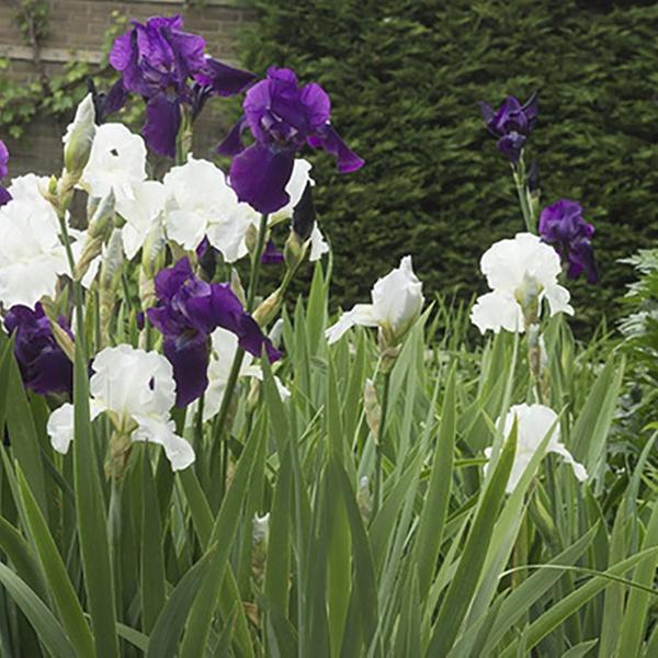 3e85dd2d032353 Bearded Iris Grape Expectations Bareroot Plants (5-Pack) | Groupon