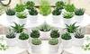 Zimmer-Sukkulenten-Mix, 10 oder 20 Pflanzen