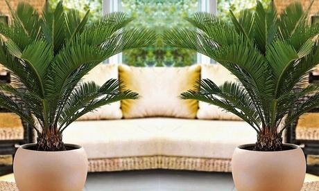 Set de 2 o 4 palmeras Cycas revoluta