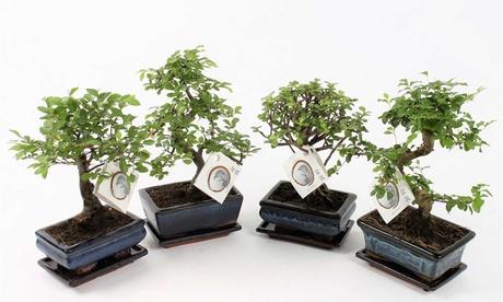 Set de 2 árboles bonsai chinos con opción a fertilizante