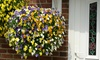 Two Pre-Planted Viola Hanging Baskets