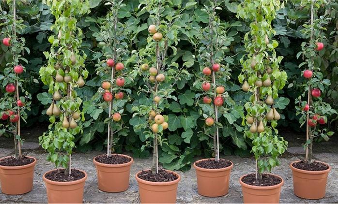 Dwarf Patio Pillar Fruit Trees Mini Orchard from £17.99