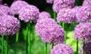 15 or 30 Bulbs of Allium Purple Sensation