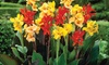 Pre-Order: Mixed Tall Canna Lily Flower Bulbs (6- or 12-Pack)