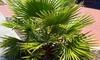 Set di 1 o 2 piante di palma messicana