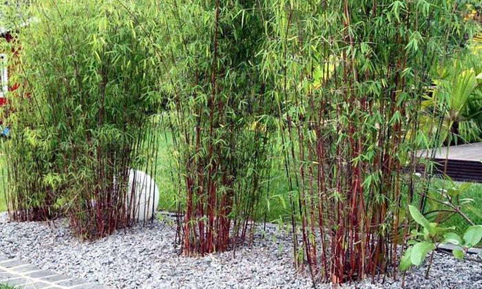 3 Ou 6 Plantes Bambou Fargesia Asian Wonder Groupon