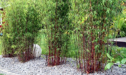 3 ou 6 plantes Bambou rouge Fargesia Asian Wonder 30 40cm