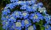 Lot de 3 ou 6 plantes Hydrangea Teller, couleurs mélangées