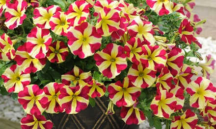 Petunia Amore 'Queen of Hearts' 10 or 20 Plants