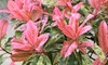 "Lots de 2 ou 4 Photinia serratifolia ""Pink Crispy"""