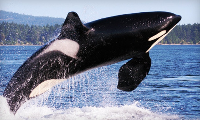 Orcas Island Eclipse Charters - Orcas: $49 for a Whale-Watching Boat Tour from Orcas Island Eclipse Charters ($99 Value)