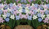 25, 50 or 100 Bulbs of Ipheion Mixed Starflower