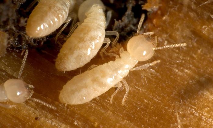 Certified Termite & Pest Control - Dallas: $498 for Subterranean Termite Treatment from Certified Termite & Pest Control ($995 Value)