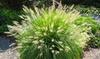 1 of 2 Pennisetum alopecuroides 'Hameln' planten