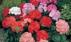 Geranium Cabaret Mix Garden Ready Plants