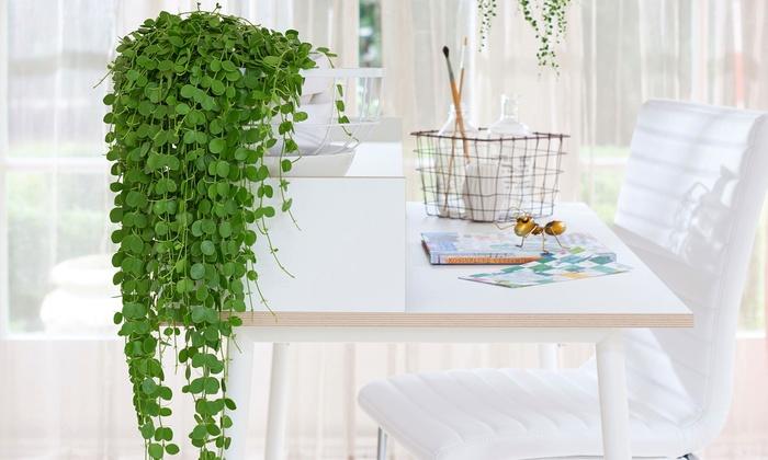 Plantas De Interior Colgante Groupon - Plantas-colgantes-de-interior