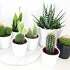 Lots de mini cactus