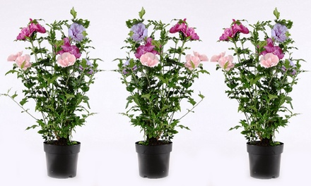 One, Two or Three Pots of Tricolour Hibiscus Chiffon Flowers