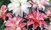 Double Oriental Lilies Mixed Bulbs (5-Pack)  : Double Oriental Lilies Mixed Bulbs (5-Pack)