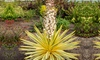 Yuccas gloriosa ''Bright Star''