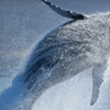 Two- or Three-Hour Whale-Watching Tour for One or Two