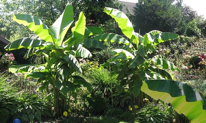 winterharte bananen pflanzen groupon. Black Bedroom Furniture Sets. Home Design Ideas
