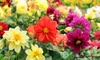 Dwarf Dahlia Flower Seed Mat w/ Soil Block (1-, 2-, 4-Pk.)