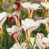 Oxalis Versicolor Bulbs (5- or 10-Pack)