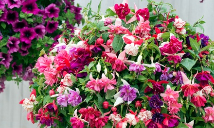Fuchsia Giant Collection – Up to 20 Plants with Optional Hanging Baskets