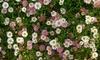 Erigeron Karvinskianus Plant
