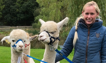 90Minute Alpaca Walk with Refreshments for Up to Four at Oakmere Alpacas