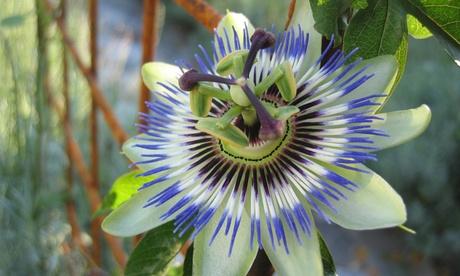 2 o 4 plantas passiflora