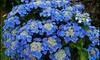 Set van Hortensia-planten