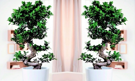 Bonsai Japonés Ficus Ginseng
