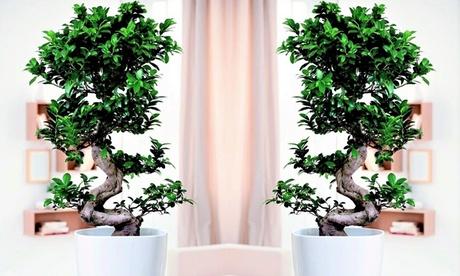 Bonsai Japonés Ficus Ginseng con fertilizante opcional