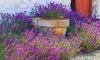 6er-, 12er- oder 18er-Set Lavendel