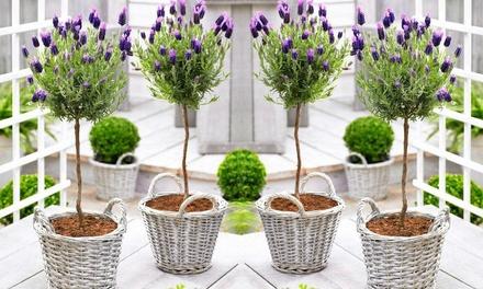 2 ou 4 Lavandes sur tige, avec ou sans pot en osier, 50-60cm de hauteur à livraison pot inclus