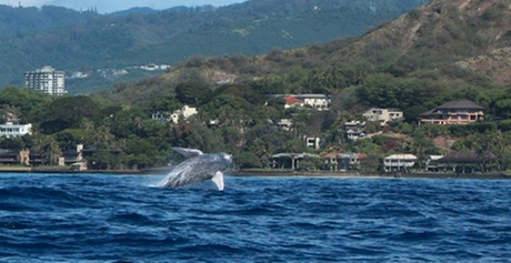Whale-Watching Cruise for One, Two, or Four from Pink Sails Waikiki (Up to 56% Off)