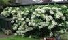 3er- oder 6er-Set Kletterhortensien mit Blüten in Weiß
