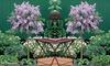 Dwarf Lilac Standard Tree