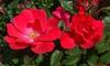Red Knock Out Rosebush: Red Knock Out Rosebush