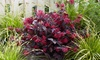 1, 2 o 3 piante di Chinese Fringe Flower