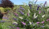 One or Two Buddleja Davidii Tricolour Plants