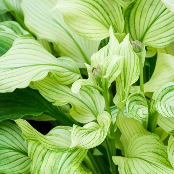 Up To 77 Off On White Feather Hosta 3 Pk Groupon Goods