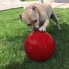 Virtually Indestructible Dog Ball