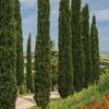 Hardy Italian Cypress Trees