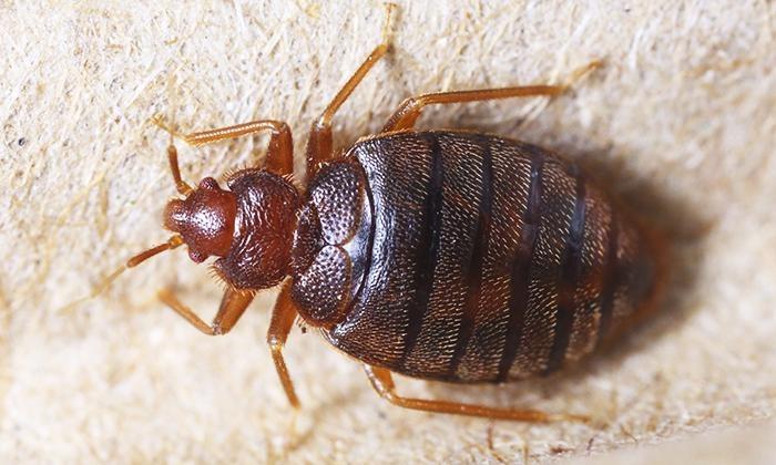 Certified Termite & Pest Control - Dallas: $49 for Bedbug Inspection from Certified Termite & Pest Control ($95 Value)