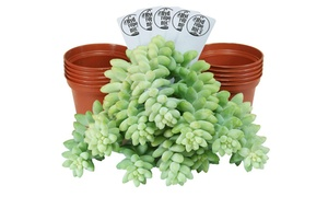 Assorted Live Succulent Sedum Donkey Tail Cuttings (5 or 10 Pack)